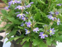 Scaevola fan-flower 'Fandango Erect Early Blue'