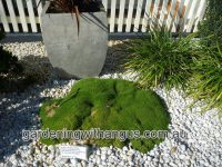 Scleranthus biflorus - cushion bush