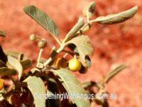Solanum central - kutjera