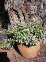 Spyridium parvifolium dusty miller 'Edna Walling Nimbus'