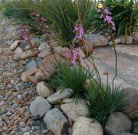 Stylidium graminifolium trigger plant 'Little Sapphire'