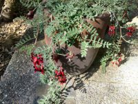Swainsonia Formosa - sturts desert pea