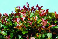 Syzygium australe lilly pilly 'Big Red'