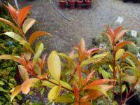Syzygium austral lilly pilly 'Bush Christmas'