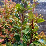 syzygium australe lilly-pilly cheetah
