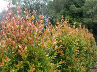 Syzygium australe 'Hinterland Gold' is good for hedging and screening