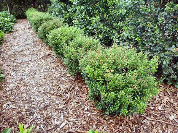 Angus s top ten australian plants for hedges gardening for Lilly pilly shrub
