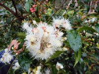 Syzygium paniculatum - lilly pilly