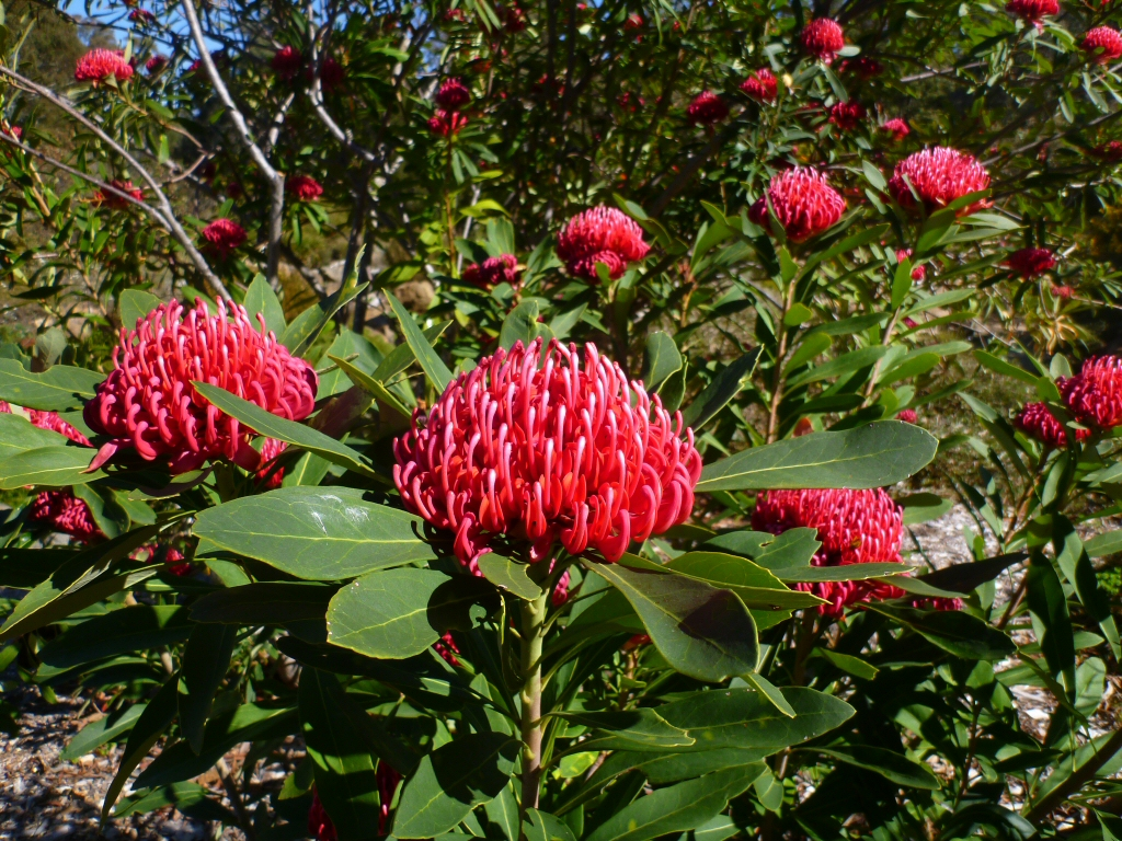 australian native shrubs gardening with angus