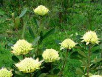 Telopea speciosissima-x-truncata-x-oreades waratah 'Golden Globe'