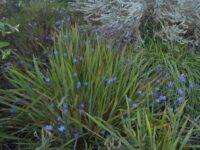 Thelionema caespitosum - tufted blue lily