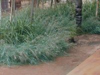 Themeda triandra kangaroo grass 'Mingo'