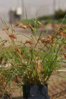 themeda-triandra_kangaroo-grass_quokka