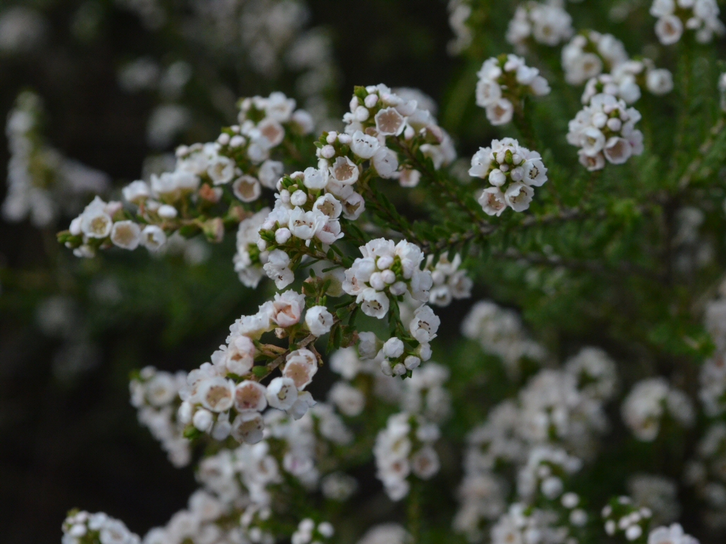 Thryptomene saxicola heath myrtle 'Supernova'