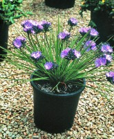Thysanotus multiflorus fringe lily 'Frilly Knickers'
