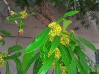 Tristaniopsis laurina - water gum