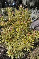 Tristaniopsis laurina water-gum 'Hot Tips'