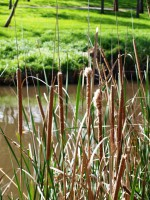 typha orientalis, bullrush is traditionally used for food and weaving