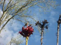 Wattle bird on Gymea lily flower