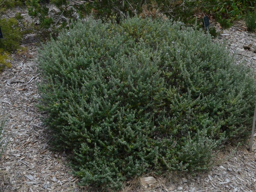 Westringia fruticosa coastal rosemary 'Jervis Gem'