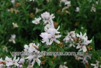 Westringia fruticosa coastal rosemary 'Double Wonder'