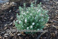 Westringia fruticosa coastal rosemary 'Double Wonder' makes a tough hedge plant