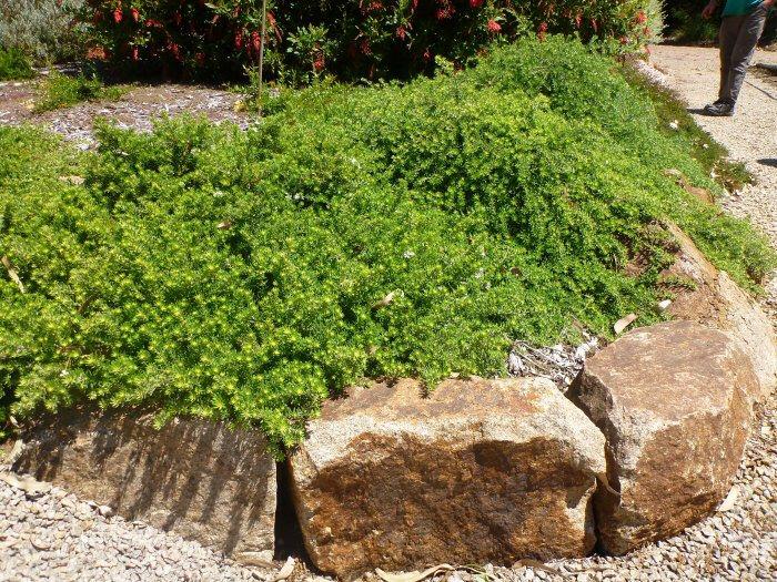 Westringia fruticosa coastal rosemary 'Flat-n-Fruity'