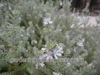 Westringia fruticosa coastal rosemary 'Smokie'