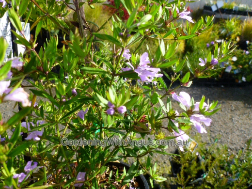 Westringia glabra coastal rosemary 'Glabra Cadabra'