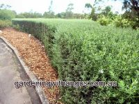 westringia-longifolia_coastal-rosemary_snow-flurry