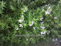 westringia fruticosa coastal rosemary blue heaven