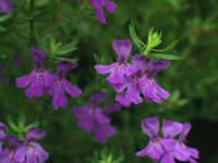 Westringia glabra coastal rosemary 'Deep Purple'
