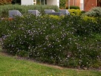 Westringia glabra coastal rosemary 'Deep Purple' is a hardy shrub for seaside planting