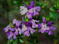 Westringia glabra coastal rosemary 'Deep Purple' is a low maintenance plant