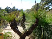 Xanthorrhoea johnsonii - grass tree