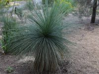Xanthorrhoea quadrangulata - grass tree