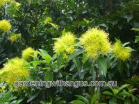 Xanthostemon chrysanthus - golden penda has spectacular yellow flowers