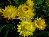 Xerochrysum bracteatum everlasting daisy 'Wallaby Sungold'