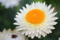 Xerochrysum bracteatum is a great everlasting daisy for gardens and pots