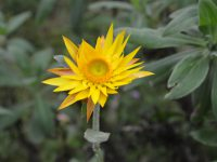 Xerochrysum bracteatum everlasting daisy 'Dargan Hill Monarch'
