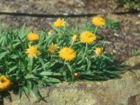 Xerochrysum bracteatum everlasting daisy 'Diamond Head'