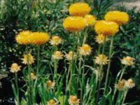 Xerochrysum bracteatum everlasting daisy 'Diane Everlasting'