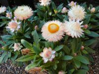 Xerochrysum bracteatum 'Kimberley Sunset'