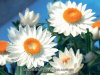 Xerochrysum bracteatum everlasting daisy 'Sundaze White'