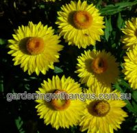 xerochrysum bracteatum everlasting daisy wallaby yellow