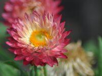 Xerochrysum bracteatum paper daisy 'Pink Sunrise'