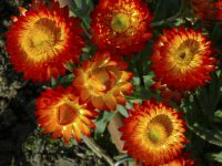 Xerochrysum bracteatum paper daisy 'Wallaby Orange'