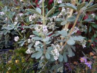 Zieria cytisoides 'Grey Ghost' has interesting grey foliage and pink flowers