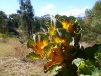 Hakea victoria - Royal hakea has stunning foliage colour
