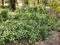 Hibbertia scandens - snake vine makes a great ground cover plant